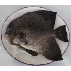 純海水圓眼燕鯧